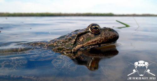Volga Frog