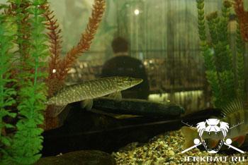 Pike aquarium